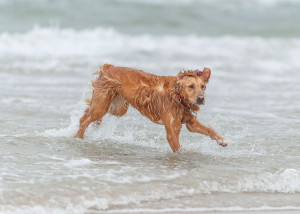 dog playing in the water at the beach © David Hamilton Melby