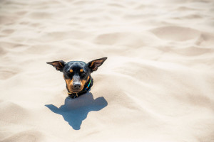 buried dwarf pinscher at råbjerg mile in northern jutland © David Hamilton Melby