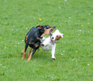 dwarf pinscher and jack russel terrier plaing © David Hamilton Melby