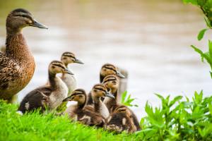 duck and ducklings at Gentofte lake © David Hamilton Melby